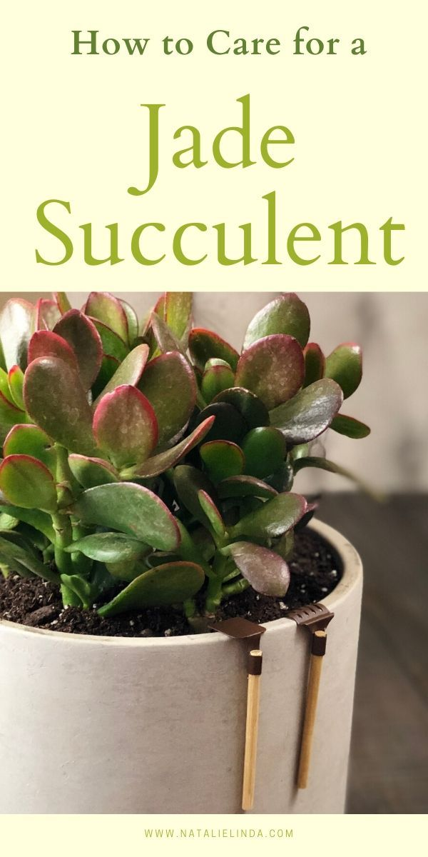 How To Care For A Jade Plant Natalie Linda Jade Succulent Jade Plants Jade Plant Pruning