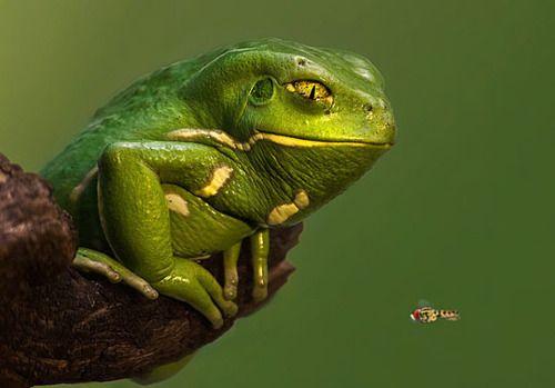 Waxy Monkey Tree Frog - ZOLANIMALS | Animals/Reptiles | Pinterest ...