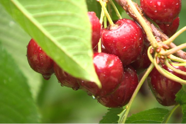 A man ate three cherry pits. Then he got cyanide poisoning and almost died