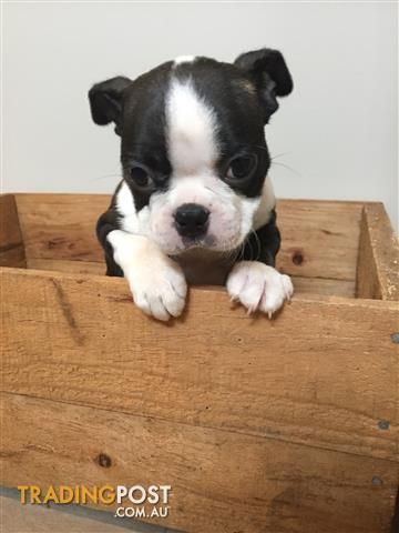 Boston Terrier Pup female for sale in Melton West VIC | Boston Terrier Pup female