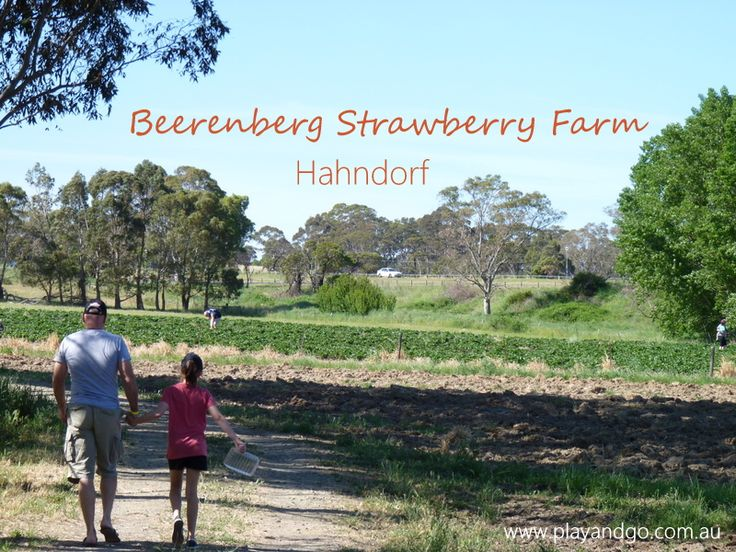 Beerenberg Farm | Pick Your Own Strawberries | Hahndorf | Play and Go
