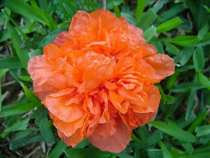 Il fiore del melograno
