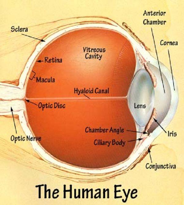 Best 25 Human eye diagram ideas on Pinterest | Eye