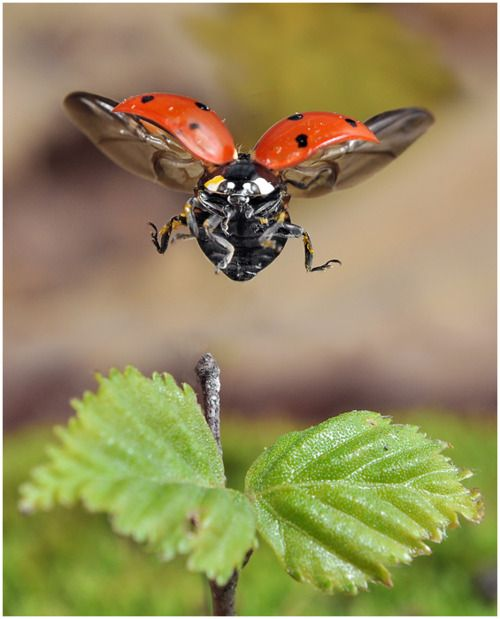 When a ladybird lands, they slow down their flight, and glide down to a gentle landing on the leaf.