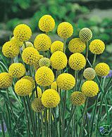 Billy Buttons - 50 Seeds Perennial Drought & Frost Tolerant Groundcover Native