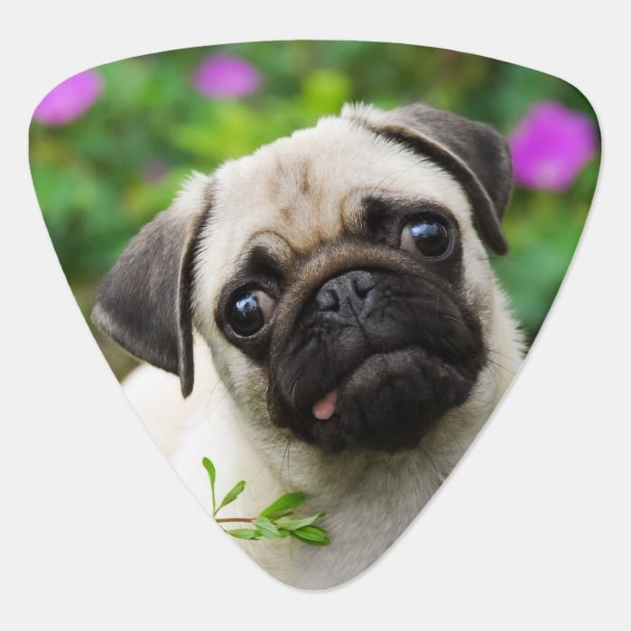 Cute Fawn Pug Puppy Guitar Pick In 2020 Fawn Pug Dogs Puppies