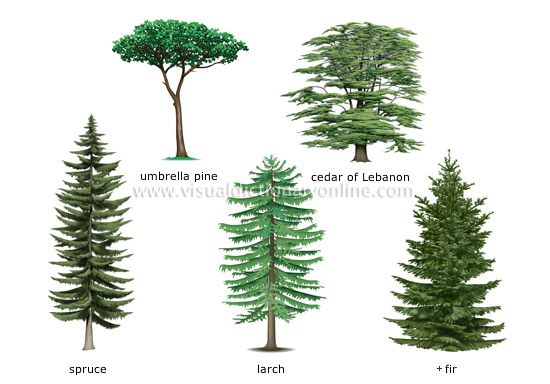 Names of coniferous trees examples of conifers image for Garden trees types