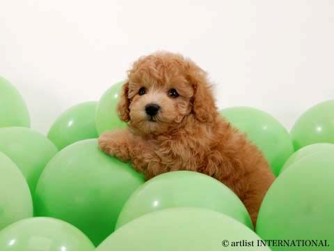 : Puppies, Poodle, Pet, Puppys, Dogs Pictures, Balloon, Cute Dogs, Animal, Golden Doodles