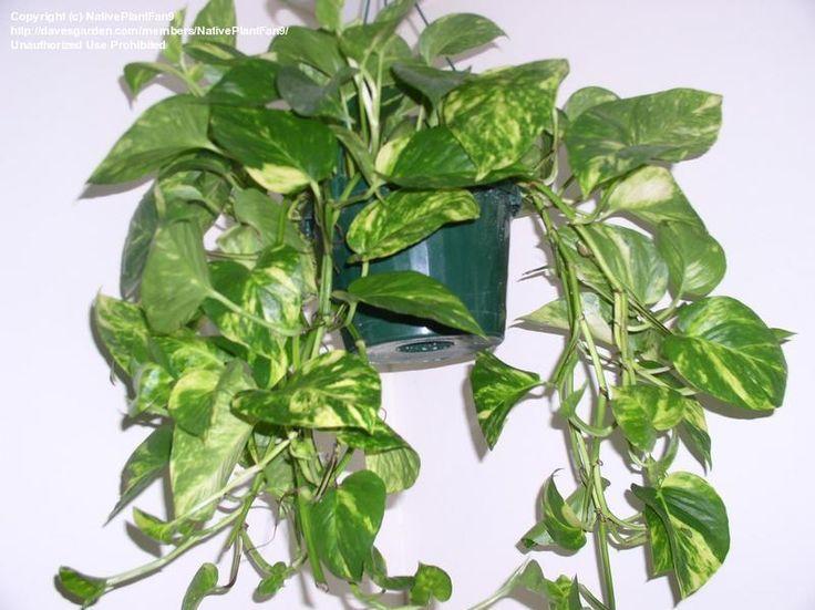 Pothos (epiprennum aureum)  Pothos is heel efficiënt tegen het bestrijden van monoxides, tolueen en benzeen, maar de plant helpt ons ook van de meeste giftige VOV's af in verf, detergenten, sigarettenrook, enz.