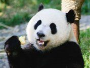 A giant panda 'faked pregnancy' to get better treatment - Business Insider