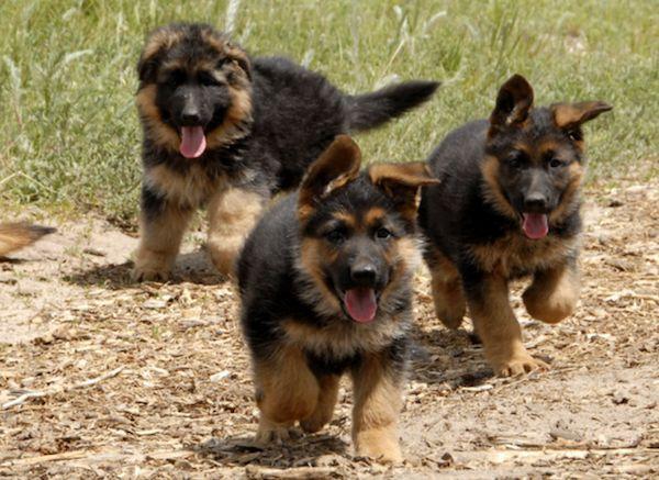 Confira as principais características da raça Pastor Alemão: Pastor Alemão - uma das raças mais utilizadas pela policia, o Pastor Alemão é um cachorro intel