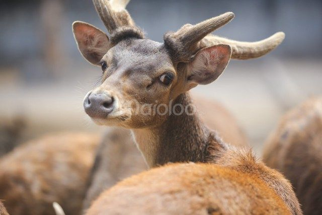 Koleksi rusa yang berada di Gembira Loka Zoo. (Benedictus Oktaviantoro/Maioloo.com)