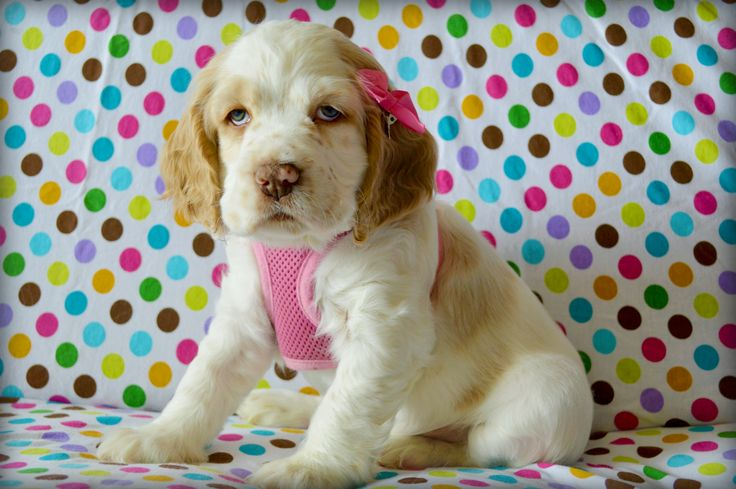 Baby Sarah (our puppy) we will see more of her! - Sprocker Spaniel