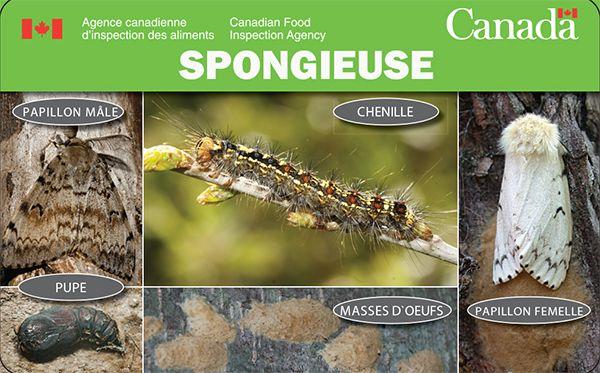 Ces papillons de nuit pondent des masses d'œufs à peu près partout, que ce soit l'écorce des arbres, les branches ou des effets personnels. Si vous vous rendez dans l'Ouest canadien en voiture, vérifiez si des masses d'œufs se trouvent sur votre véhicule ou vos effets personnels et retirez les. Empêchez la propagation de la spongieuse.   http://www.inspection.gc.ca/vegetaux/protection-des-vegetaux/insectes/la-spongieuse/fiche-de-renseignements/fra/1330355335187/1335975909100