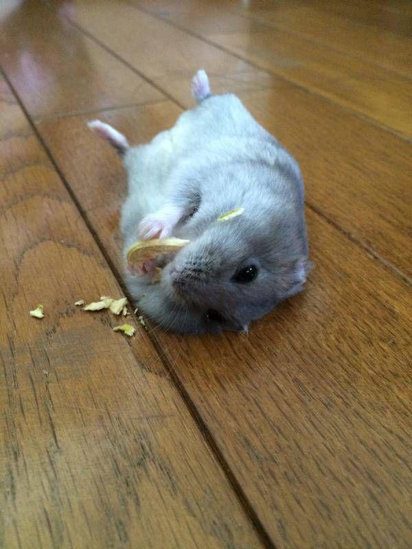 """Hamster eating """"nom noms"""" 飼われてると こうなるんや…"""