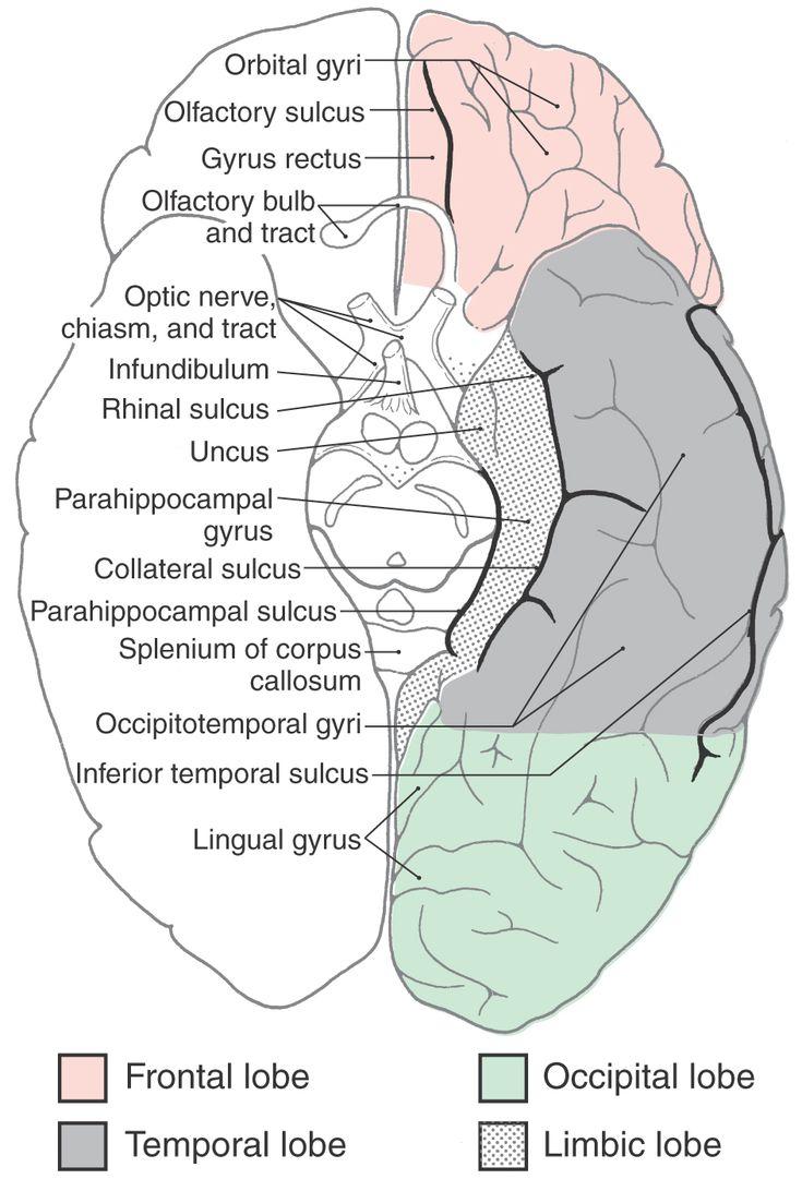 7 mejores imágenes de Brain en Pinterest | El cerebro, Anatomía ...