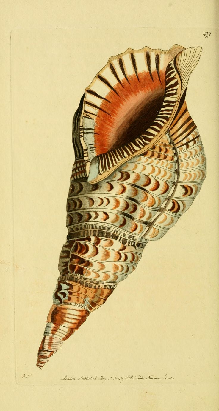 biodiversitylibrary.org - [Descriptions and illustrations of mollusks : excerpted from The naturalist's miscellany / George Shaw]