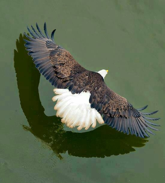 "Bald Eagle... ""flaps up"" and ready to land on his fish dinner."