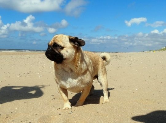 Tips for holiday with dogs - find appropriate destinations / accomodations, planning and checklist. Here--> http://www.pugworldtrip.com/en/tonys-blog-and-news/dog/travel-with-dog/tips-for-holiday-with-dogs.html