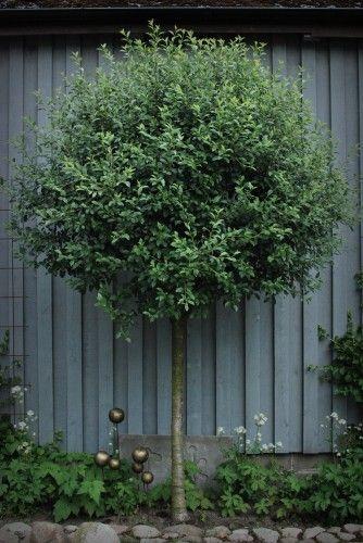 klotkörsbärsträd