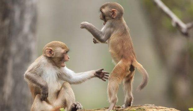 Hiii, Monyet Lucu Ini Jadi Santapan Bujang Mentawai
