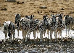 Zebry, Wodopój