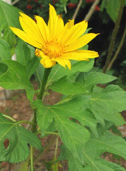 Giant Mexican Sunflower, TITHONIA DIVERSIFOLIA, flower and leaves