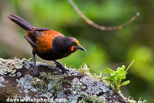 Tieke bird or Saddleback, Philesturnus carunculatus,  on Tiritir Matangi island, New Zealand