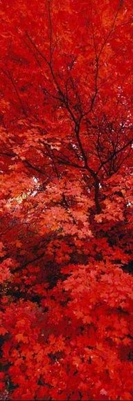 "Image of deep red leaves. ... Such a deep and beautiful red. -""Zen"" by Peter Lik."