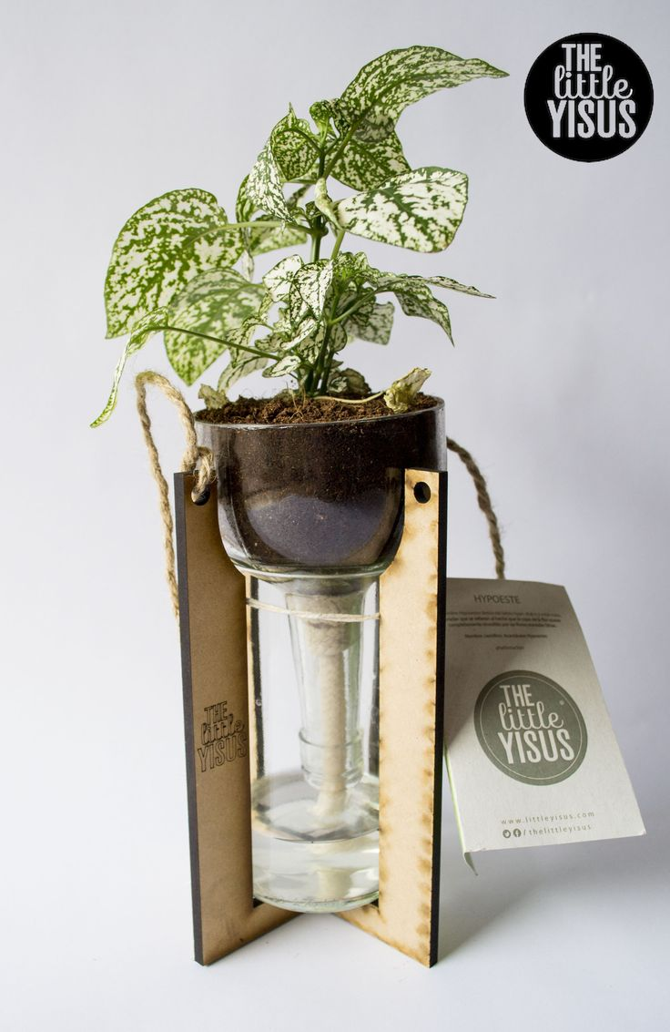 planta de 24cm, Hypoeste #littleplants