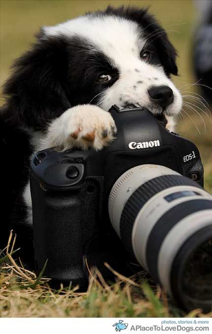 Panda, a Border Collie cross puppy chewing a camera | A Place to Love Dogs
