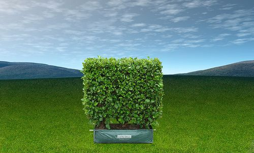 Living Walls Living Boundary medium instant hedge from Twining Valley Nurseries NZ ready now