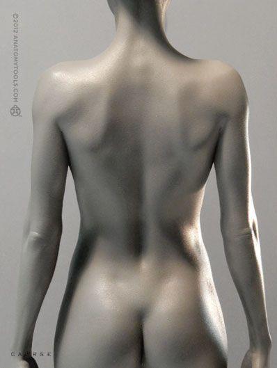 http://www.anatomytools.com/prffv2-1-6scale-p588.php