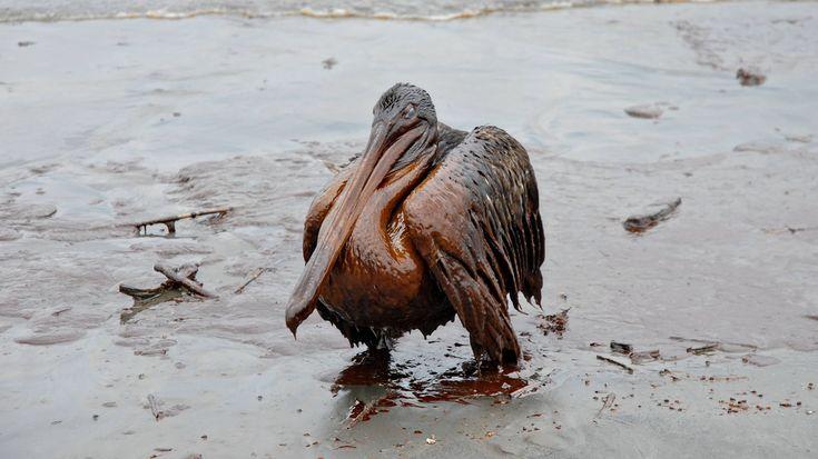 Tausende Tote-Nach dem Unfall im Golf von Mexiko wurden tausende Vögel, mindestens 750 Meeresschildkröten und über hundert Delfine tot aufgefunden. Dieser ölverschmierte Pelikan wurde – noch lebend – am 8. Mai 2010 vor der Grand Isle fotografiert.