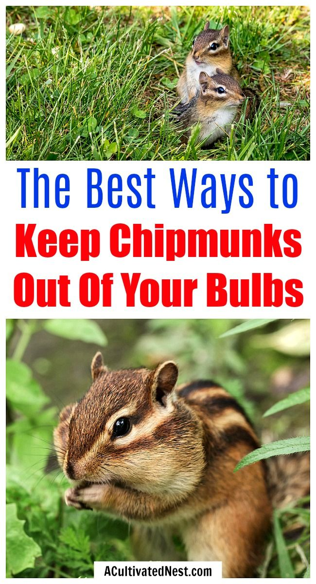 7 Tips For Keeping Chipmunks Out Of Your Bulbs Garden Yard Ideas