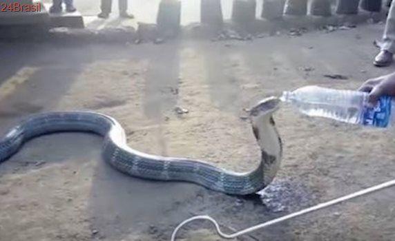Vídeo: cobra venenosa bebe água de garrafa oferecida por guarda florestal na Índia