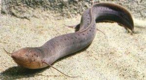 Habitantes de Sudamérica, África y Australia, los peces pulmonados tienen forma de anguila y generalmente habitan en superficies y lagos cenagosos. Sobreviven saliendo a respirar a la superficie, y pueden hacerlo porque tienen unos órganos parecidos a pulmones conectados a la garganta. El pez pulmonado australiano tiene un solo pulmón, mientras que las otras variedades poseen dos.