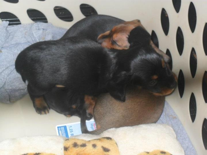 Pups in the Hamper: Doxie Darlings, Dachshund