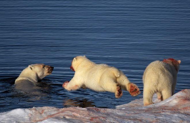 Polar Bears: My favorite animal <3Finish Eating, Eating Seals, Beautiful Bears,  Polar Bears,  Thalarcto Maritimus, Ice Bears,  Ursus Maritimus, Amazing Photos, Animal