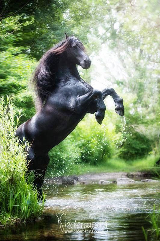 Magnificent Black Friesian Stallion Rearing in the Forest.