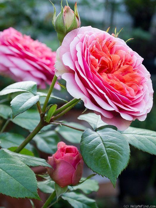 576 best rose images on pinterest flowers beautiful. Black Bedroom Furniture Sets. Home Design Ideas