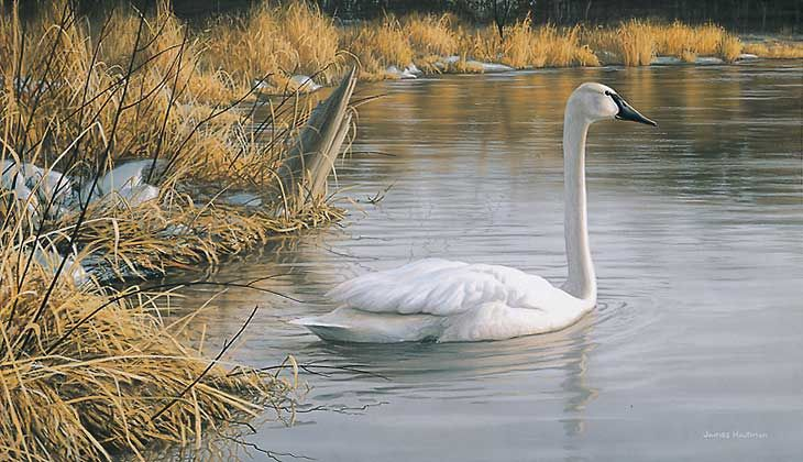 """Spring Thaw - Swan"" by Jim Hautman"