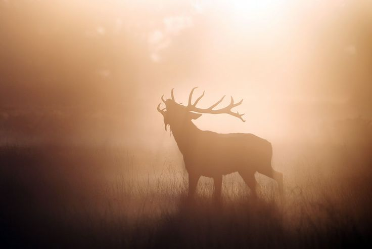 A Red Deer stag stands in the early morning mist in Richmond Park, on October 15, 2011, in London, England.