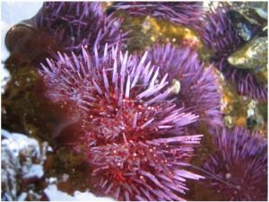 The purple sea urchin, Strongylocentrotus purpuratus, has the ability to pass the trait for higher carbon dioxide tolerance to its offspring. (Credit: Gretchen Hofmann)