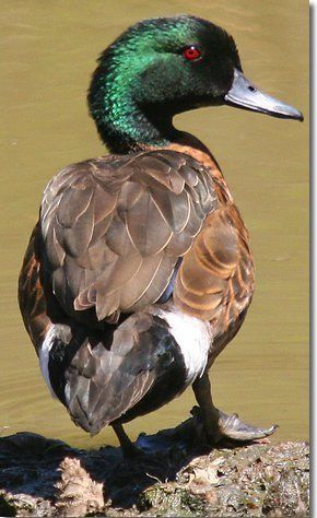 The Chestnut Teal (Anas castanea) is a dabbling duck found in southern Australia. It is protected under the National Parks and Wildlife Act 1974.