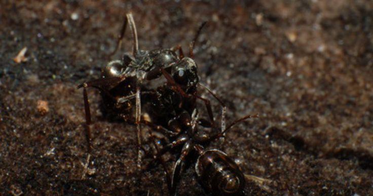 Que tipos de formigas são aladas?. As formigas com asas não são uma espécie particular de formigas voadoras, mas ainda sim, membros de uma espécie de formiga capazes de voar. Dentro de uma espécie, apenas certas formigas desenvolverão asas, com o propósito de deixar um formigueiro e criar um novo. Formigas aladas são geralmente confundidas com cupins, mas há características ...