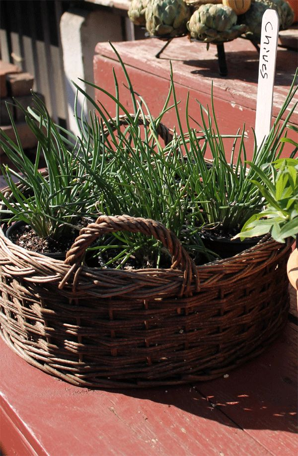 Do you want to grow chives in your garden? http://thefarmersgarden.com/blog/How-to-Grow-Chives.php