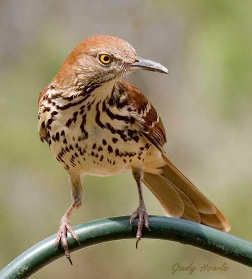 Brown Thrasher (Toxostoma rufum).  I saw one of these for the first time this past summer.  I love the yellow eyes!