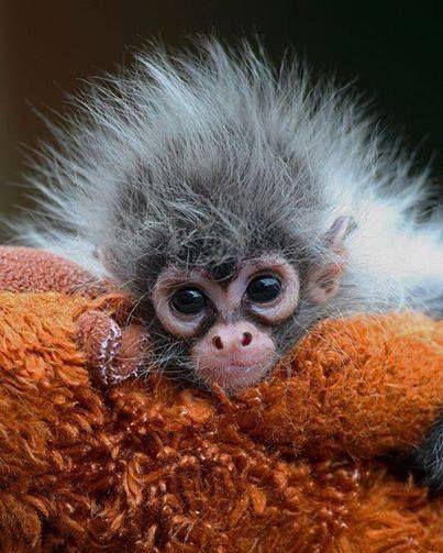 Estela, a hand-reared baby Spider Monkey