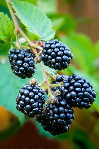 Blackberry - Rubus 'Loch Ness': by Crocus. Co., UK